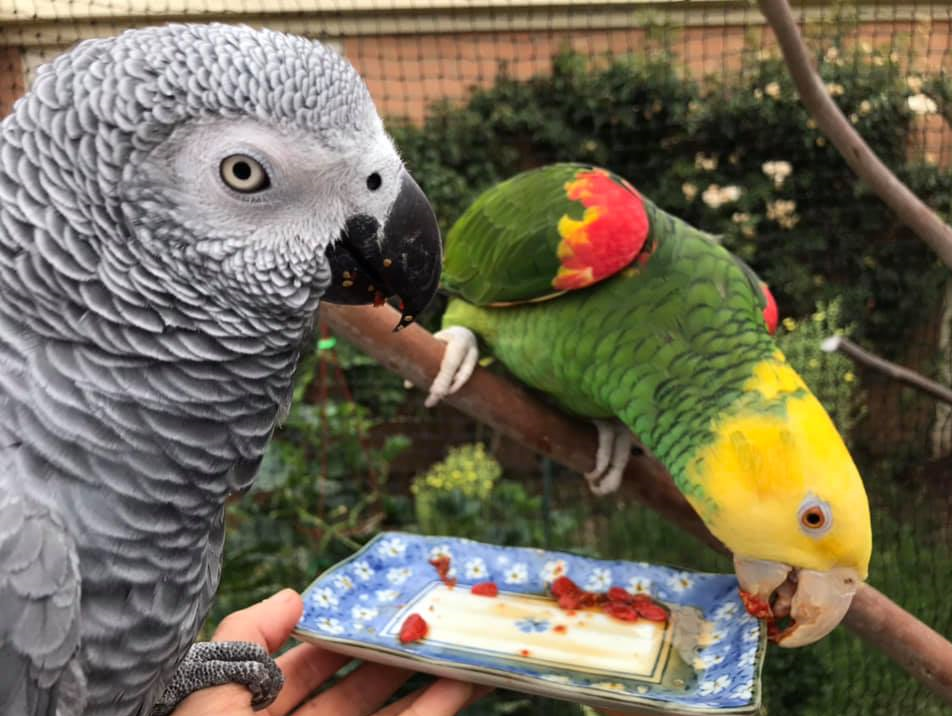 Making Your House Safe For African grey Parrot