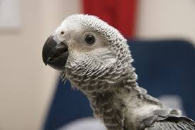 How to breed a young grey parrot