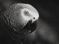 African Grey Parrot Gifts