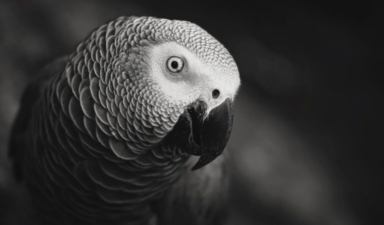 African Parrot Grey