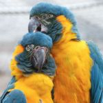 macaw Blue throated