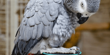 African Grey Parrot Intelligence