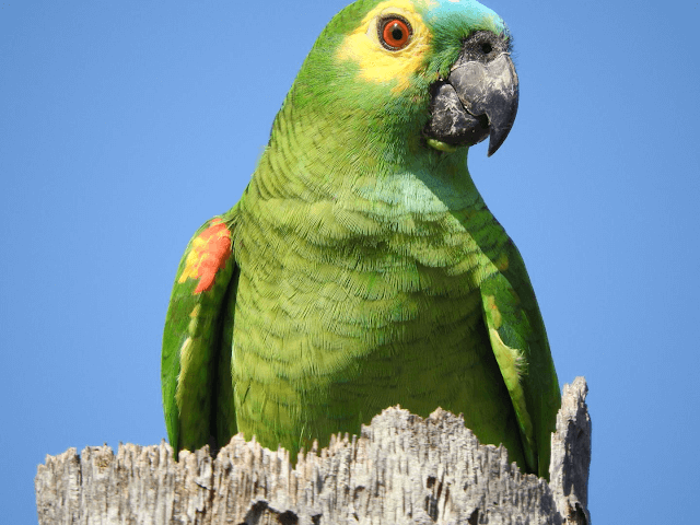 Amazon Blue-Fronted