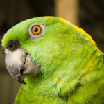 Amazon yellow-necked (Amazona ochrocephala)