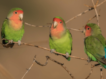 Rosy-faced parrot