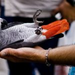 Where To Buy A Parrot African Grey