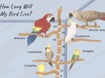 African Grey Lifespan