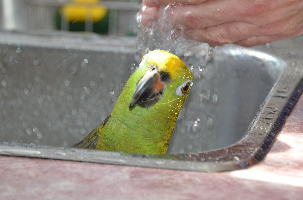 Allow your parrot to swim