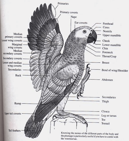 African Grey Body and Plumage