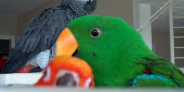 Introducing a New Bird to your Parrot