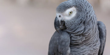 The Gray of Gabon: a smart parrot