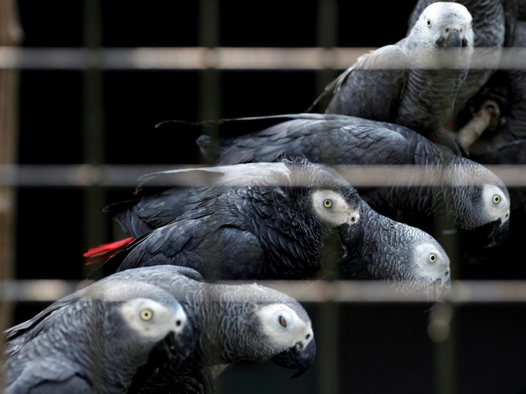 Congo African Grey Parrot illegal traffic