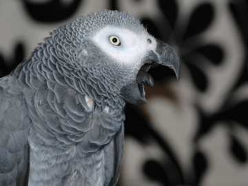 African Grey Parrot Biting