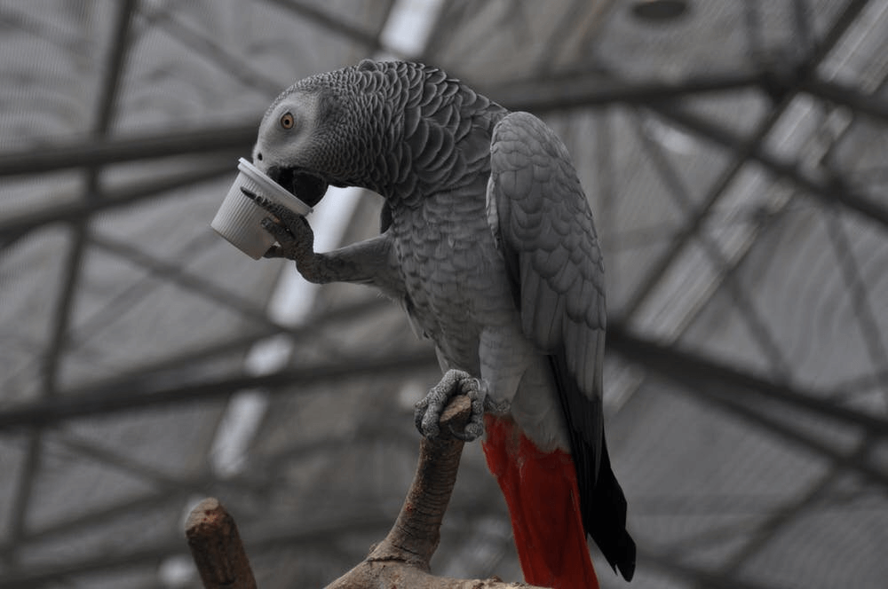 Grey African parrot Behavior