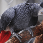 Healthy Signs of African Grey parrot