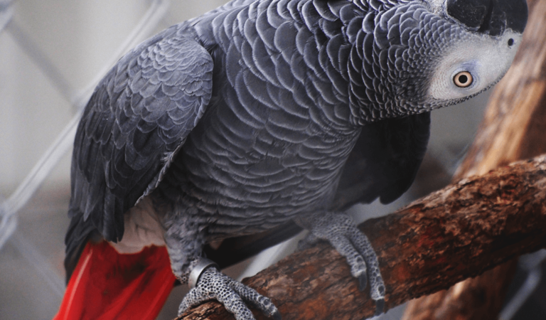 Healthy Signs of an African Grey Parrot