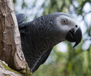 Healthy Signs of an African Grey