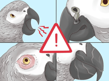 Signs of Possible Illness in an African Grey parrot