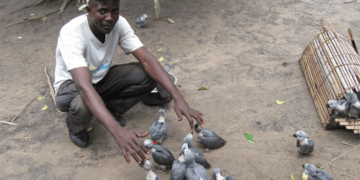The Illicit traffic African gray parrot