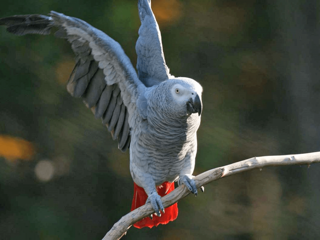 The body language of African Grey parrot and timneh