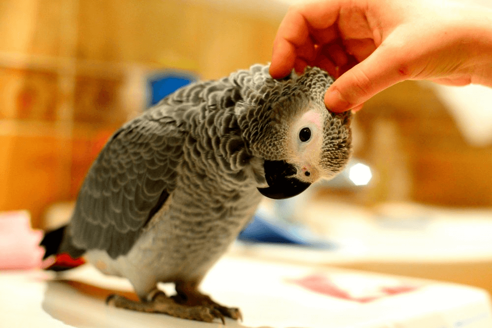 The body language of African Grey parrot