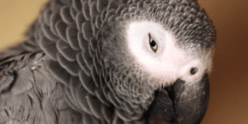 body language of African Grey parrot and timneh