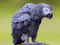 parrot African Grey Behavior