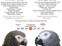 timneh grey vs congo grey