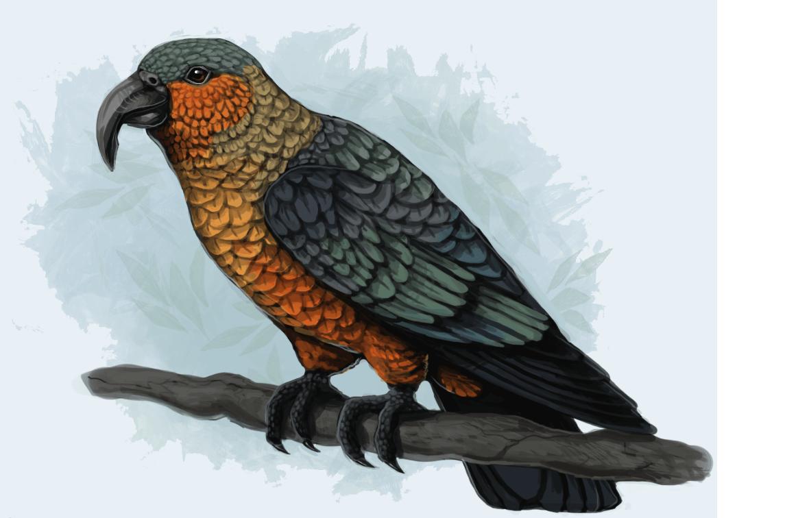 parrot Norfolk Island Kaka