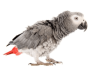 African Grey Parrot puff up