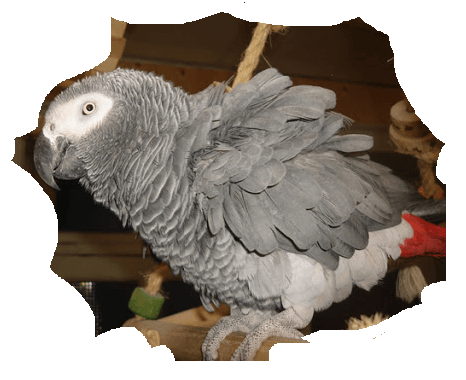African Grey puff up