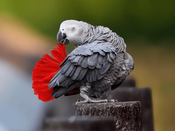 Tail African Grey