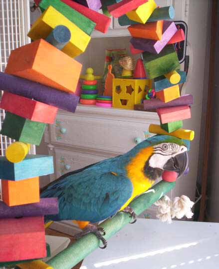 Blue-and-yellow macaw surrounded by snack blocks and parrot toys