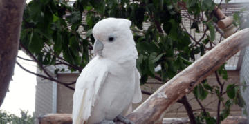 Ducorps cockatoo