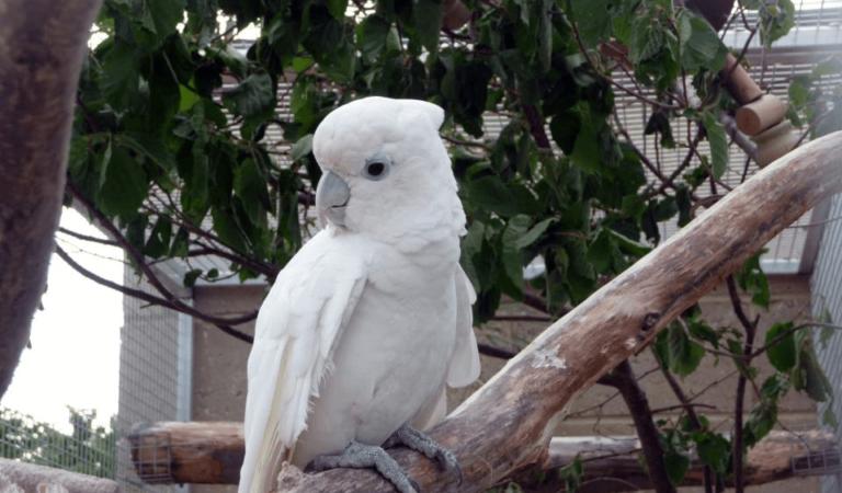Solomon cockatoo