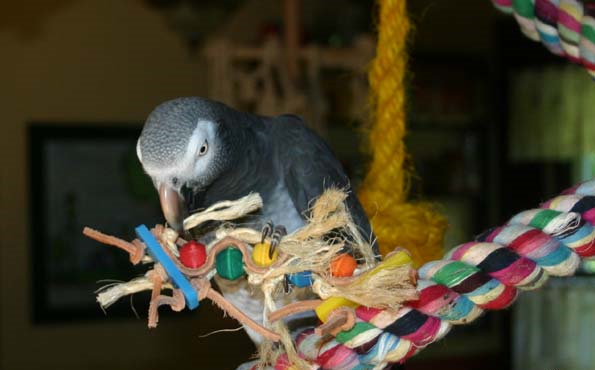 Parrot and its paw toy