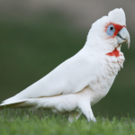corella cockatoo