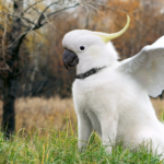 cockatoo meme