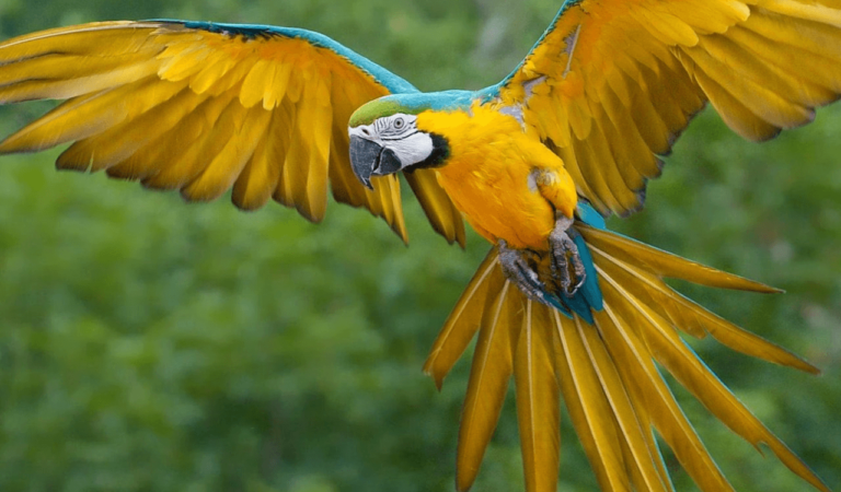 Wagler's macaw Blue-throated macaw Caninde macaw
