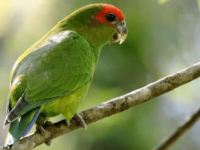 Pileated parrot