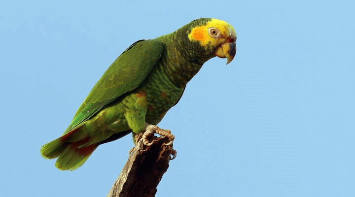 Yellow-faced parrot