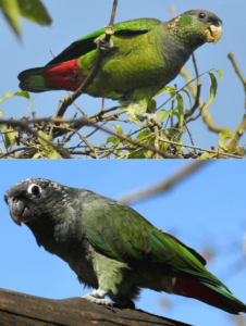 parrot Scaly-headed