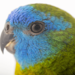 parrot Turquoise