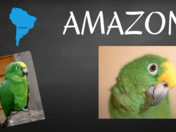 where do amazon parrots live