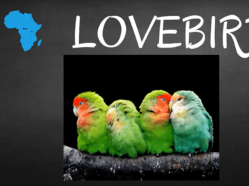 where do lovebird parrots live