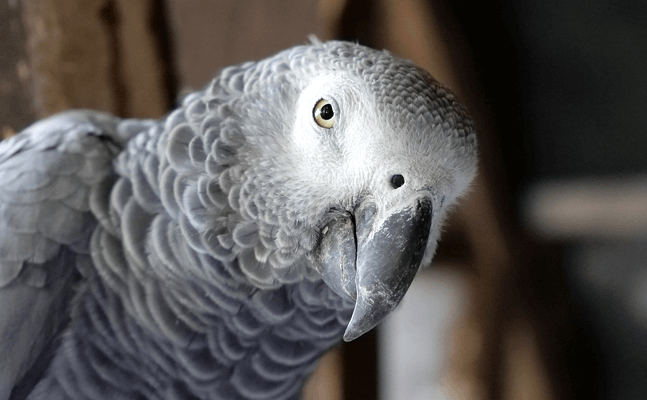 African Grey Parrot said Happy Birthday