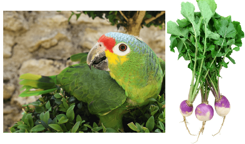 Benefits of TURNIP GREENS for parrot