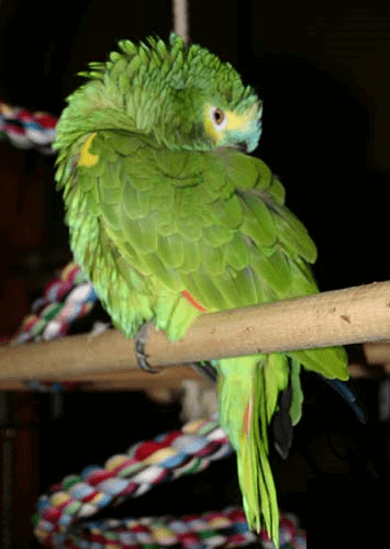 Different reasons why a parrots would stop talking