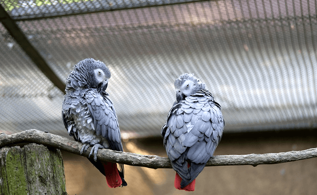 Reproduction of the African grey