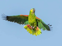 The parrot BIG responsibility